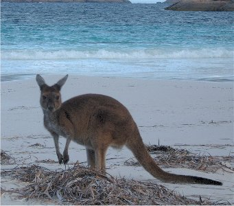 Roos on the beach