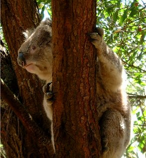 Koala at Tower Hill