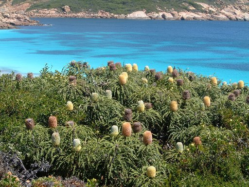 Banksias at Orleans Bay