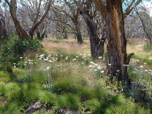 Mountain Gums in an alpine meadow