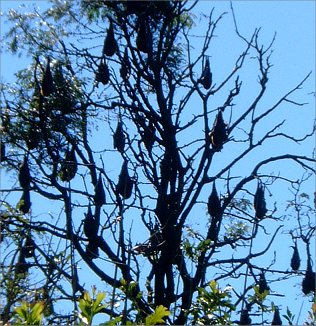 Flying Foxes (Fruit Bats)
