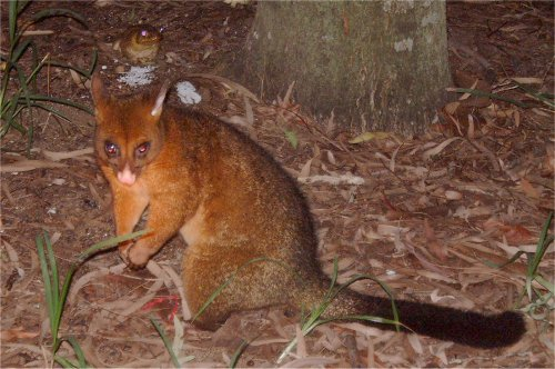 Possum and Cane Toad