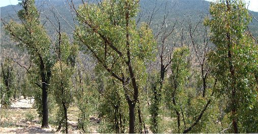 Regroth after the 2003 fires
