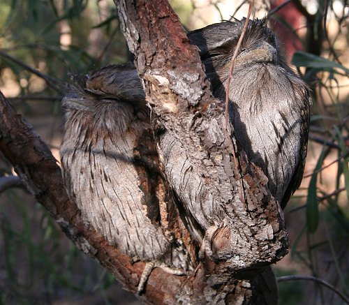 Tawny Frogmouth Owl chicks