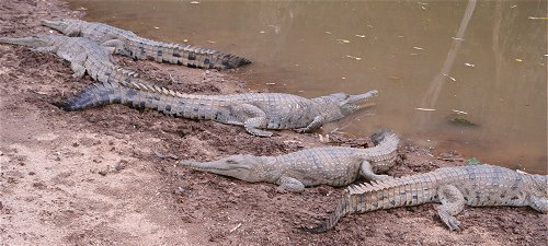 Freshwater crocs in Windjana Gorge