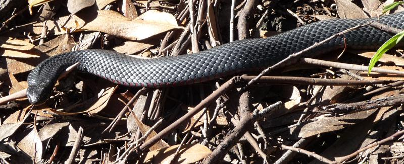 Ali's Red Bellied Black Snake