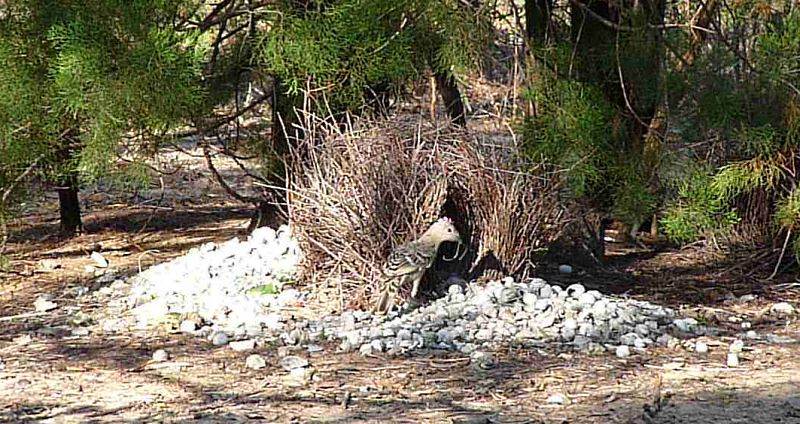 Bower Bird and Bower