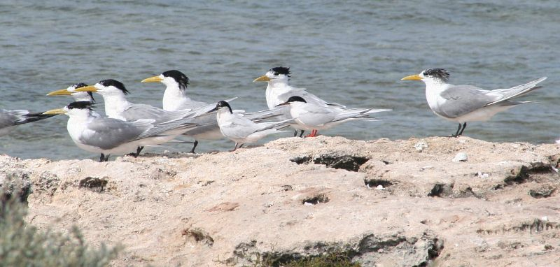 Black Headed Terns