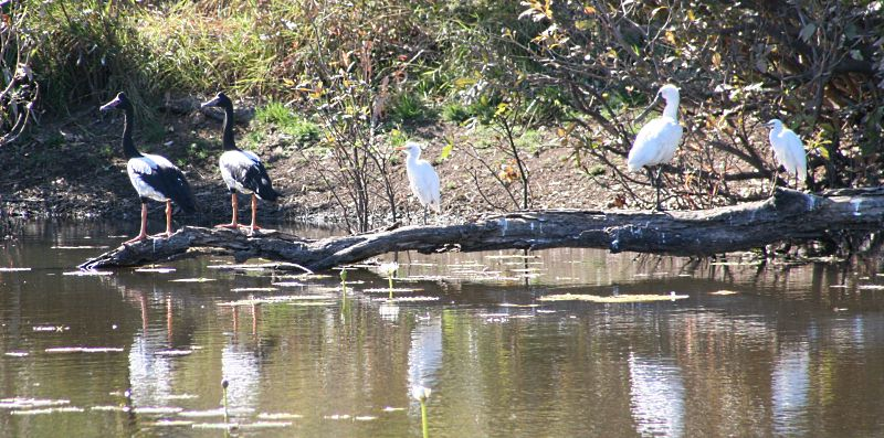 Magpie Geese, spoonbill and egrets.